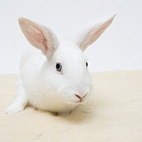 Adopt A Pet :: Ricochet - Mill Valley, CA