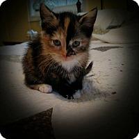 Adopt A Pet :: Sassafras - Winchester, VA