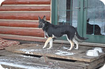 German Shepherd Dog Dog for adoption in Hamilton, Montana - Ruby