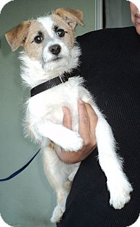 Jack Russell Terrier Mix Dog for adoption in Studio City, California - Hudson