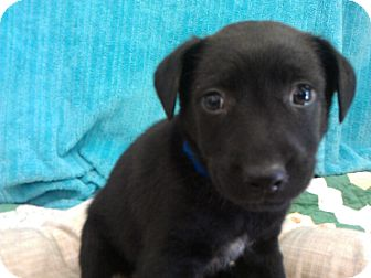 Labrador Retriever Mix Puppy for adoption in Waldorf, Maryland - Louie #433