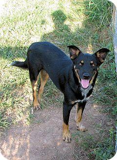 German Shepherd Dog/Border Collie Mix Dog for adoption in Waller, Texas - Desi