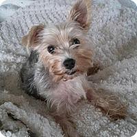 Adopt A Pet :: Pippi - Riverview, FL