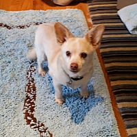 Chihuahua Mix Dog for adoption in Richmond, Virginia - Molly