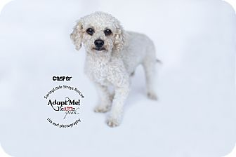 Miniature Poodle Mix Dog for adoption in Aqua Dulce, California - Casper