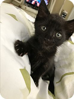 Domestic Mediumhair Kitten for adoption in Boca Raton, Florida - Leonidas