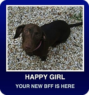 Dachshund/Labrador Retriever Mix Puppy for adoption in Morrisville, Pennsylvania - Coco