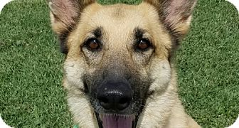 German Shepherd Dog Dog for adoption in Chattanooga, Tennessee - Roxanne
