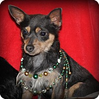 Chihuahua Dog for adoption in DuQuoin, Illinois - Lexie Jo