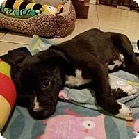 Adopt A Pet :: Chloe - Palatine/Kildeer/Buffalo Grove, IL