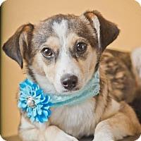 Adopt A Pet :: Nova - Pearland, TX