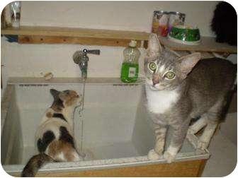 Domestic Shorthair Cat for adoption in Pasadena, California - Barkley
