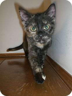 Domestic Shorthair Kitten for adoption in Byron Center, Michigan - Poppy