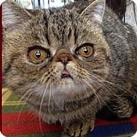 Adopt A Pet :: Joey - Beverly Hills, CA