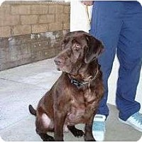 Adopt A Pet :: BALOO BEAR - San Diego, CA