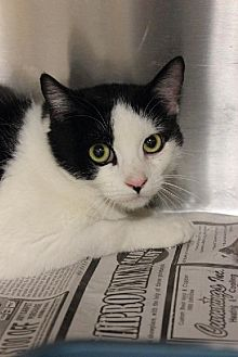 Domestic Shorthair Cat for adoption in Troy, Illinois - Jacie FOSTERED (Marcie N)