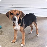 Adopt A Pet :: Freckles - Russellville, KY
