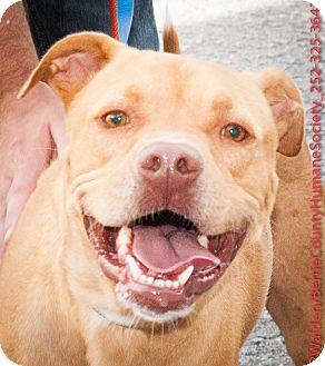 Carolina Dog Mix Dog for adoption in Powellsville, North Carolina - COOKIE