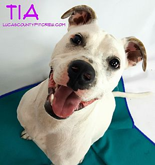 Boxer/American Pit Bull Terrier Mix Dog for adoption in Toledo, Ohio - Tia