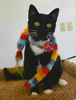 Domestic Shorthair Cat for adoption in Tyler, Texas - A-Dulcina