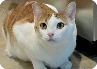 Domestic Shorthair Cat for adoption in Brooklyn, New York - Gorgeous Gilly! 1 year old beauty
