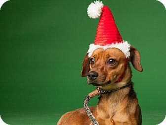 Manchester Terrier/Dachshund Mix Dog for adoption in Dallas, Texas - Kazo