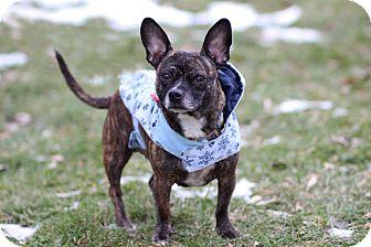 Chihuahua/French Bulldog Mix Dog for adoption in Midland, Michigan - Lil' Peach - $75!