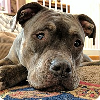 Pit Bull Terrier/American Bulldog Mix Dog for adoption in Columbus, Ohio - Janis