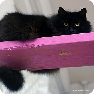 Domestic Longhair Cat for adoption in Tucson, Arizona - Makari