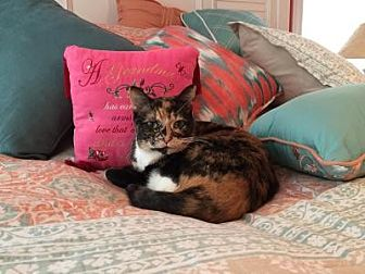 Domestic Shorthair Cat for adoption in South Haven, Michigan - Grimalkin