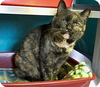 Domestic Shorthair Cat for adoption in Dover, Ohio - Charlie