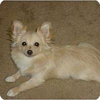 Adopt A Pet :: Tinkerbell - Arlington, TX