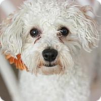 Adopt A Pet :: Cocoa - Canoga Park, CA