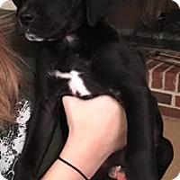 Adopt A Pet :: DeeDee - Cumming, GA