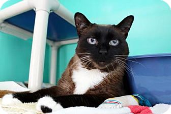 Domestic Shorthair Cat for adoption in Bellevue, Washington - Jamba Juice