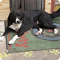Border Collie/Labrador Retriever Mix Dog for adoption in San Antonio, Texas - Sofia