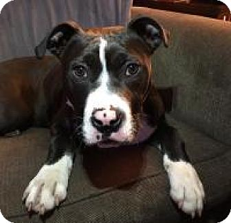Mixed Breed (Large)/Pit Bull Terrier Mix Dog for adoption in Crown Point, Indiana - Flint (Adoption Pending)