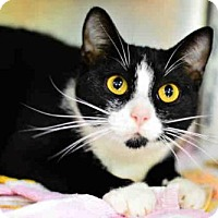 Adopt A Pet :: MITTENS - West Palm Beach, FL