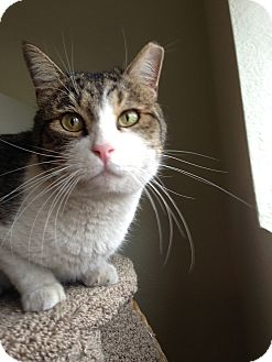 Domestic Shorthair Cat for adoption in Fountain Hills, Arizona - BOB