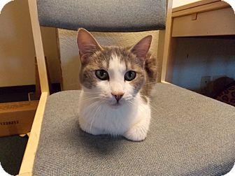Domestic Shorthair Cat for adoption in Fountain Hills, Arizona - MARCIE