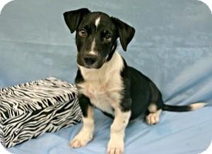 German Shepherd Dog Mix Puppy for adoption in Lufkin, Texas - Jackson