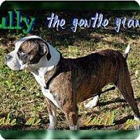 Adopt A Pet :: Bully - Lakeland, FL