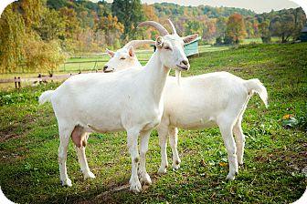 Goat for adoption in Saugerties, New York - Zoe