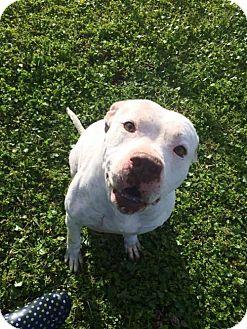 American Bulldog Mix Dog for adoption in Lake Placid, Florida - Fred