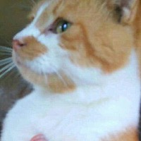 American Shorthair Cat for adoption in Lyons, Illinois - Dreamer