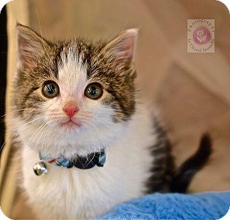 Domestic Shorthair Kitten for adoption in Wayne, New Jersey - Nico