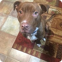 American Pit Bull Terrier Mix Dog for adoption in Newfield, New Jersey - Tucker