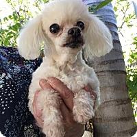 Adopt A Pet :: Olivia - Temecula, CA