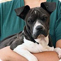 Adopt A Pet :: Ms. Wrinkles - Palmdale, CA