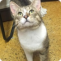 Domestic Shorthair Cat for adoption in North Haven, Connecticut - Atlas